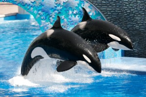 The-killer-whales-at-SeaWorld-Orlandos-whales-1248811