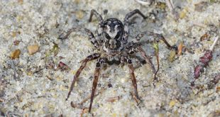 """Extinct"" Spider Discovered in Britain"